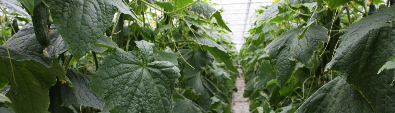 Rijen komkommerplanten